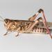 Dociostaurus maroccanus - Photo (c) Konstantinos Kalaentzis, todos los derechos reservados