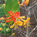 Yellow Honeysuckle - Photo (c) sarahtjo, all rights reserved