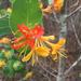 Lonicera flava - Photo (c) sarahtjo, todos los derechos reservados
