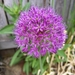 Giant Allium - Photo (c) Meghann Jost, all rights reserved