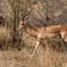 Impala - Photo (c) Giuseppe Citino, todos los derechos reservados
