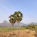 Borassus flabellifer - Photo (c) Venkatesh Ramanujam, kaikki oikeudet pidätetään