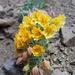 Tropaeolum polyphyllum - Photo (c) Romina Yáñez Jiménez, כל הזכויות שמורות