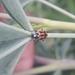 Eriopis heliophila - Photo (c) Diego Muñoz, all rights reserved
