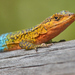 Blue-Green Smooth-throated Lizard - Photo (c) Javier Perez Cid, all rights reserved