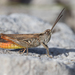 Bornhalm's Grasshopper - Photo (c) markussehnal, all rights reserved