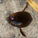 Megadytes glaucus - Photo (c) RAP, todos los derechos reservados