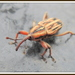 Rhabdoscelus lineaticollis - Photo (c) 江仲民, כל הזכויות שמורות