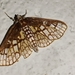 Polygrammodes dubialis - Photo (c) Carlos S. Rodrigues, all rights reserved