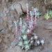 Dudleya farinosa - Photo (c) mazer, todos los derechos reservados