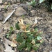 Lasiopetalum ferrugineum cordatum - Photo (c) Gabby Hoban, todos los derechos reservados