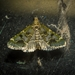Arescoptera haplocala - Photo (c) Nicholas John Fisher, all rights reserved