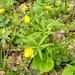 Kashubian Buttercups - Photo (c) Sigitas Juzėnas, some rights reserved (CC BY)
