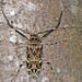 Acrocinus longimanus - Photo (c) gernotkunz, όλα τα δικαιώματα διατηρούνται