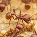 Red Harvester Ant - Photo (c) Clarence Holmes, all rights reserved