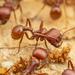Hormiga Cosechadora Roja - Photo (c) Clarence Holmes, todos los derechos reservados