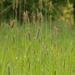 Alopecurus pratensis - Photo (c) Jeremy Barker, todos os direitos reservados