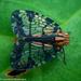Biolleyana - Photo (c) Laurent Hesemans, todos los derechos reservados