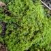 Pseudocrossidium crinitum - Photo (c) Emma-Leigh Prain, todos los derechos reservados