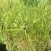 Cyperus cephalanthus - Photo (c) hanc_botanybattalion, todos los derechos reservados