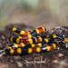 Oaxacan Coralsnake - Photo (c) Jaguar Negro, all rights reserved