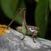 Marbled Bush-Crickets - Photo (c) Konstantinos Kalaentzis, all rights reserved