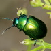Mint Leaf Beetle - Photo (c) Raniero Panfili, all rights reserved