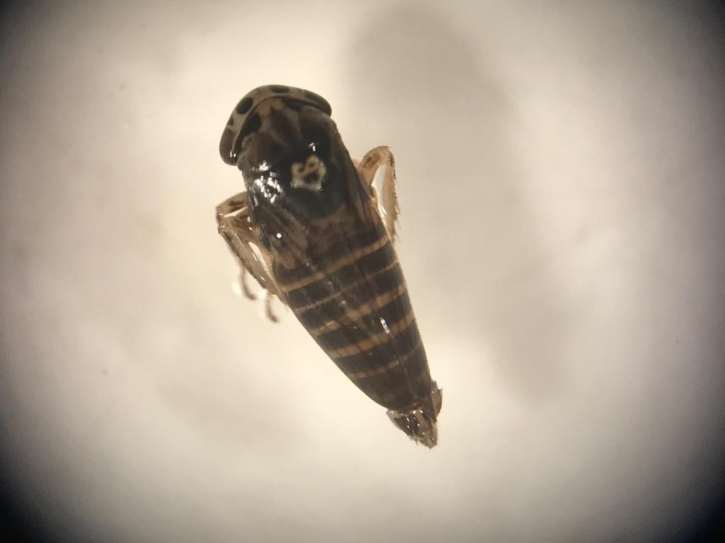 Anaceratagallia laevis; (c) gernotkunz, tutti i diritti riservati