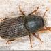 Hylurgopinus rufipes - Photo (c) Alain Hogue, todos los derechos reservados