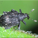 Apple Flea Weevil - Photo (c) Alain Hogue, all rights reserved