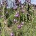 Turricula parryi - Photo (c) Scott Cummings, כל הזכויות שמורות