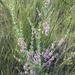 Indigofera flabellata - Photo (c) Johnny Wilson, algunos derechos reservados (CC BY-NC)