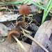 Psathyrella atrospora - Photo (c) Trent Pearce, all rights reserved