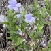 Hairy Ruellia - Photo (c) Frances, all rights reserved