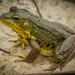 Rana Verde - Photo (c) Buddy, todos los derechos reservados