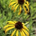 Yellow Coneflower - Photo (c) Eric Wood, all rights reserved