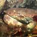 Cangrejo Pardo - Photo (c) tamsynmann, todos los derechos reservados