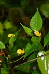 Burmeistera parviflora image