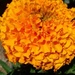 Mexican marigold - Photo (c) hananomar, all rights reserved