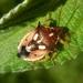 Tylospilus cloelia - Photo (c) Sckel, todos los derechos reservados