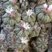 Aztekium ritteri - Photo (c) Juan Miguel Artigas Azas, all rights reserved