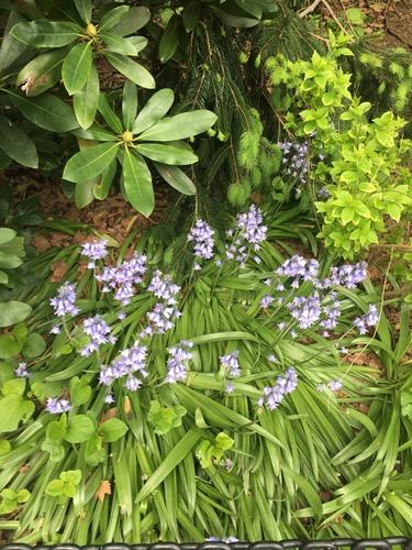 Hyacinthoides hispanica image