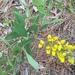 Baptisia cinerea - Photo (c) spohlman, todos los derechos reservados