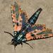 Chalcidica mineus - Photo (c) Anupam Phillip, todos los derechos reservados