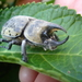 Hercules Beetles - Photo (c) Jason Meredith, some rights reserved (CC BY-NC-ND)