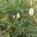 Astragalus ucrainicus - Photo (c) Max Parkhomenko, כל הזכויות שמורות