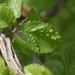 Aceria campestricola - Photo (c) wouterteunissen, כל הזכויות שמורות
