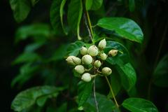 Maripa panamensis image