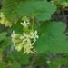Ribes viscosissimum - Photo (c) HErikson, todos los derechos reservados