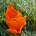 Eschscholzia californica - Photo (c) antonyrw, all rights reserved, uploaded by antonyw
